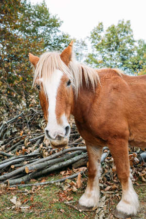 Brown and white percheron horse in the countryside looking at camera in autumn
