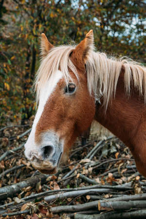 Head of a brown and white  mane percheron horse with trunks at the background Banque d'images