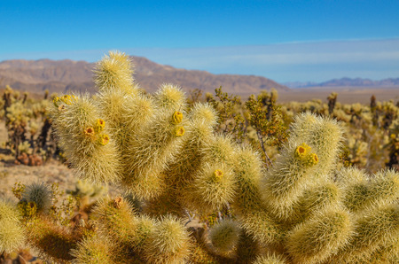 joshua: Cholla cactus garden, Joshua tree national park Stock Photo