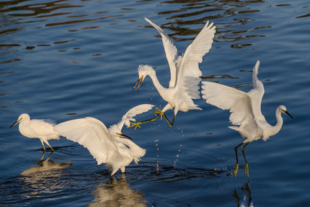 egrets: Snowy egrets