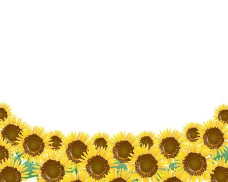 sunflower field: sunflower background