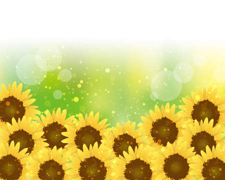 Sunflower background in full bloom