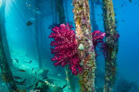 Zachte koralen onder Aborek Jetty, Raja Ampat, Indonesië Stockfoto