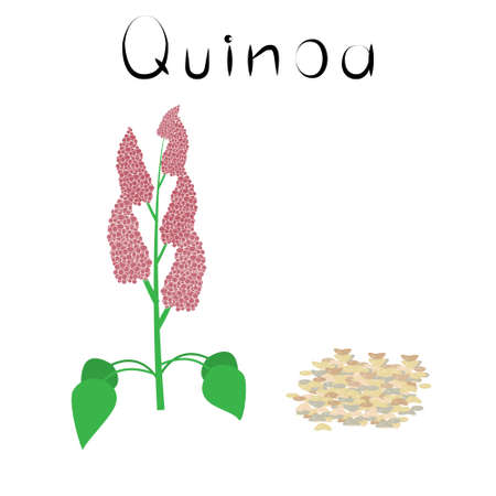 Quinoa. Healthy detox natural product. Organik dietary supplement food. Superfood, seeds for homeopathy. Cartoon vector isoleted illustration Ilustracja