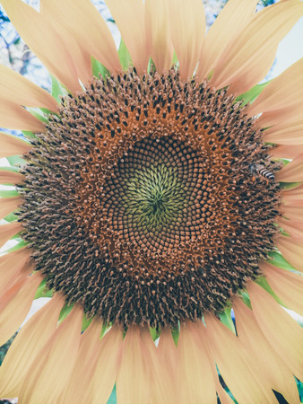 Sunflowers brighten the garden and depending on the variety, they produce their sunny blooms year-round. Stok Fotoğraf