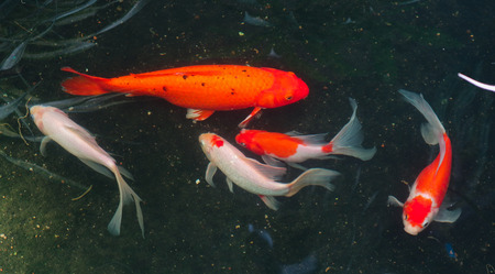 Beautiful red black white and orange colorful Koi fish in the water canal