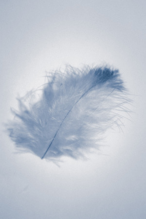 Beautiful abstract color white and blue feathers isolated on white background pattern and wallpaper