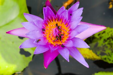 Beautiful abstract close up color purple red pink and pink lotus flowers in the garden Standard-Bild