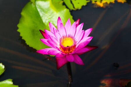 Beautiful abstract close up color purple red pink and pink lotus flowers in the garden Фото со стока