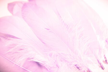 Beautiful abstract close up color white purple and pink feathers background and wallpaper
