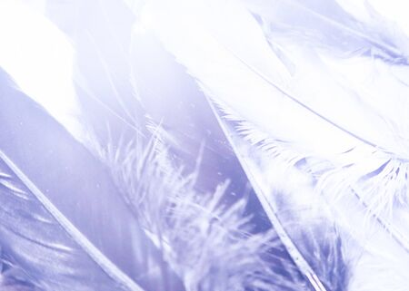Beautiful abstract close up color purple light and pink feathers background and wallpaper 版權商用圖片