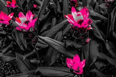 Beautiful abstract textures close up color pink red and purple flower on the black white and darkness isolated background and wallpaper