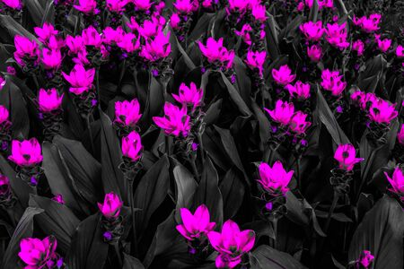 Beautiful abstract textures close up color red purple and pink flowers on the black and darkness isolated background and wallpaper