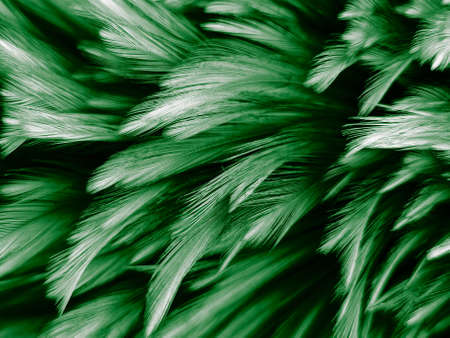 Beautiful abstract white and green feathers on dark background and soft white feather texture on white pattern and green background, feather background , green banners