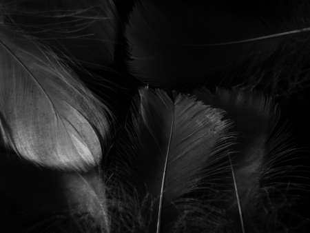Beautiful abstract black feathers on black background and soft white feather texture on white pattern and dark background, gray feather background, black banners Imagens