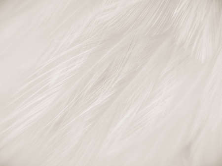 Beautiful abstract gray feathers on white background and soft white feather texture on white pattern and brown background, brown feathers 写真素材