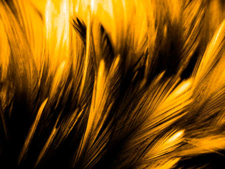 Beautiful abstract colorful black orange and yellow feathers on black background and soft white gold feather texture on dark pattern and yellow background, colorful feather, yellow banners