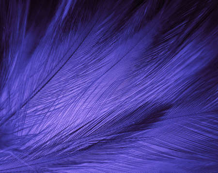 Beautiful abstract purple feathers on white background, black feather texture on dark pattern and purple background, colorful feather wallpaper, love theme, valentines day