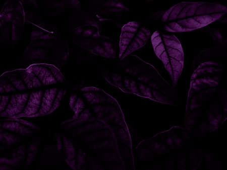 Beautiful abstract color blue and purple flowers on black background and pink graphic pink flower frame and pink leaves texture, purple background, colorful graphics banner, pink background