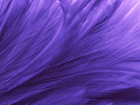Beautiful abstract purple feathers on white background, black feather texture on dark pattern and purple background, colorful feather wallpaper, love theme, valentines day, dark texture