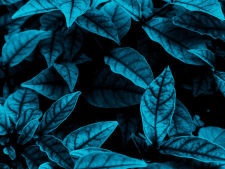 Beautiful abstract color white and blue flowers on black background, light purple flower frame,  blue leaves texture, dark background, valentines day, love theme blue leaves texture 스톡 콘텐츠