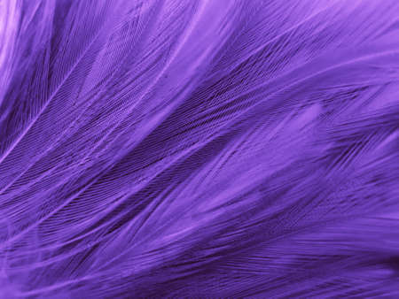 Beautiful abstract purple feathers on black background, black feather texture on dark pattern and purple background, colorful feather wallpaper, love theme, valentines day, pink texture