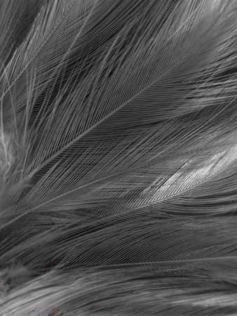 Beautiful abstract black feathers on white background and soft white feather texture on white texture pattern, dark theme wallpaper, gray feather background, gray banners, white gradient Reklamní fotografie