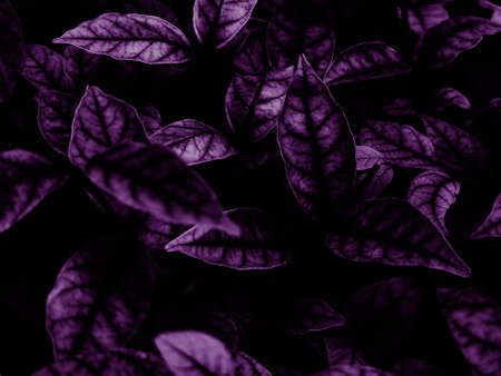 Beautiful abstract color blue and purple flowers on black background and pink graphic pink flower frame and pink leaves texture, purple background, colorful graphics banner, dark background