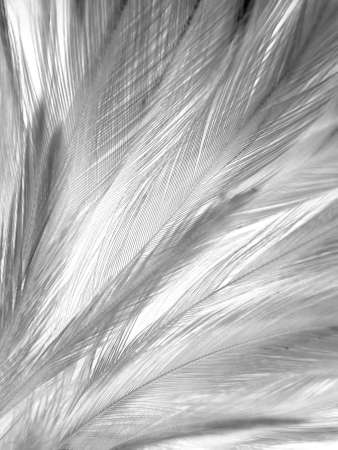 Beautiful abstract black feathers on white background and soft white feather texture on white texture pattern, dark theme wallpaper, gray feather background, gray banners, white gradient 免版税图像