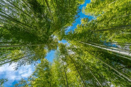 Narrow path, Shuzenji corridor of  beautiful Bamboo Forest near Katsura bridge over Kitamata River Located in Izu City, Shizuoka Prefecture