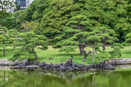 Panoramic view of Hamarikyu Gardens in Tokyo. Old japanese pine tree reflections at Shioiri no ike Pond. The only remaining tidal lake in Tokyo. Refuge for wild migrating birds