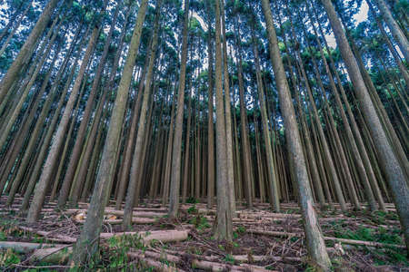 Beautiful japanese cedars and pine forest near Tanuki Lake (Tanukiko) at Tokai Nature Trail, Shizuoka prefecture, Fujinomiya-shi, Japan