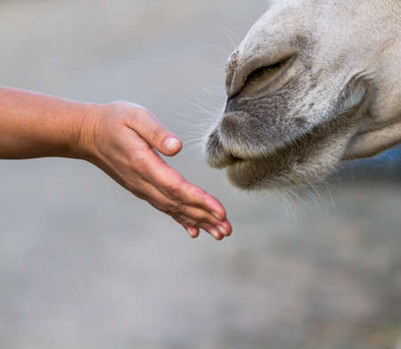 humankind: Camel smelling a mans hand, which he handed to him