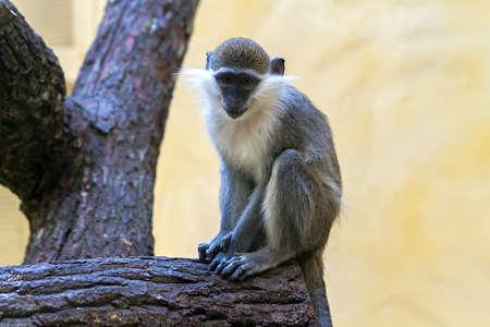 copycat: gray monkey sad look in your eyes Stock Photo