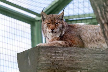 lince: Lynx tendido en el registro medio dormido