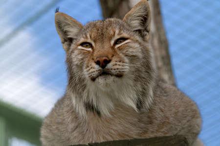 Lynx narrowed eyes looks afar