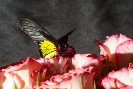 papillon: Papillons tropicaux inhabituels dans des environnements non standard et l'�clairage