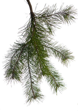 Image result for Scotch fir branch