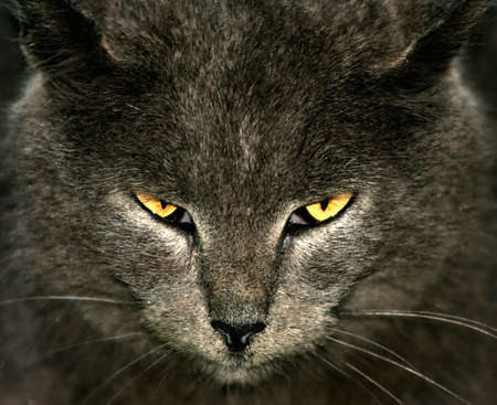 sternly: Gray cat with yellow eyes looking sternly at the viewer
