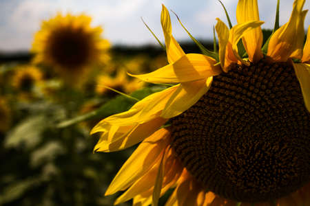 A huge field of yellow mature sunflowers. Partly cloudy. View of the sunflowers and a lot of close-up.