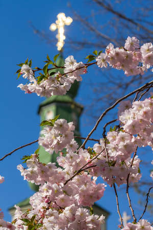 Sakura flowers only blossomed in spring on a tree Against the background of the Christian church with a dome and a Christian cross in the city of Mukacheve, Ukraine