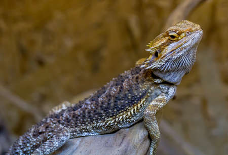 Bearded Agama climbs on wood, Ukraine.The bearded agama is the lizard of the Agama family. Received its name because of the characteristic neck cuff, which, in moments of danger or marital advances, swells, acquiring a dark color.