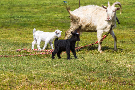 White goat walks in the clearing with its kids - black and white Zdjęcie Seryjne