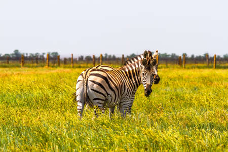 Zebras in the savannah, half in the tall grass.