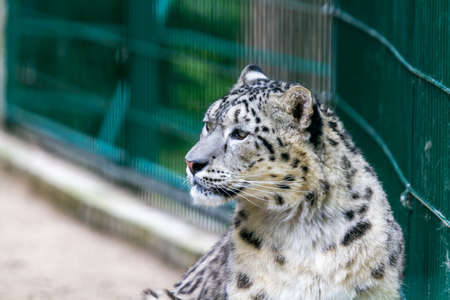 irbis: Snow leopard is half-open and looks to the left, Nikolaev, Ukraine.