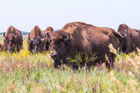 In savannah, steppe, prairie a herd of bison is grazed. Zubr, or European bison - a species of animals of the genus bison of the subfamily of bovine families of the polorohad detachment of cloven-hoofed animals. The last representative of wild bulls in Eu