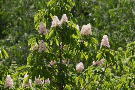 Kiev decorative chestnuts blossom in the spring with beautiful pyramidal flowers. Kiev, Ukraine. Stock Photo