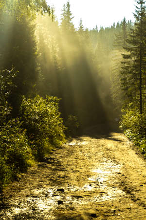 Rays of light at dawn in a coniferous forest. Fog and the rising sun draws stunning pictures. Archivio Fotografico