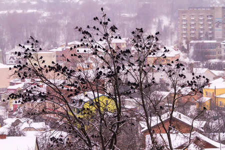 A huge flock of crows sits on trees in the background of the winter city of Truskavets, Ukraine.