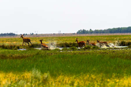 A flock of sika deer jumps over the river and swamp. The deer raise the spray. Around the running deer - meadow, steppe, prairie.